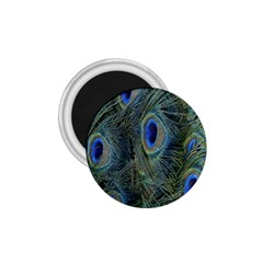 Peacock Feathers Blue Bird Nature 1 75  Magnets by Amaryn4rt