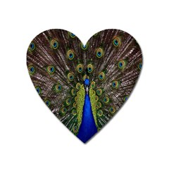 Bird Peacock Display Full Elegant Plumage Heart Magnet by Amaryn4rt
