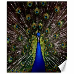 Bird Peacock Display Full Elegant Plumage Canvas 20  X 24