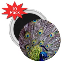 Peacock Bird Feathers 2 25  Magnets (10 Pack)  by Simbadda