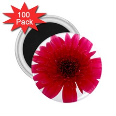 Flower Isolated Transparent Blossom 2 25  Magnets (100 Pack)
