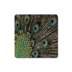 Close Up Of Peacock Feathers Square Magnet by Nexatart