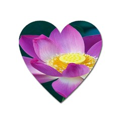 Pink Lotus Flower Heart Magnet by BangZart
