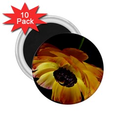 Ranunculus Yellow Orange Blossom 2 25  Magnets (10 Pack)