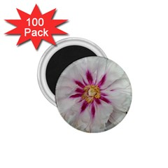 Floral Soft Pink Flower Photography Peony Rose 1 75  Magnets (100 Pack)  by yoursparklingshop
