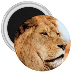 Big Male Lion Looking Right 3  Magnets