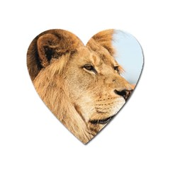 Big Male Lion Looking Right Heart Magnet by Ucco