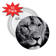 Africa Lion Male Closeup Macro 2 25  Buttons (10 Pack)
