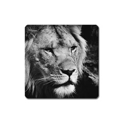 Africa Lion Male Closeup Macro Square Magnet by BangZart