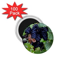 Grapes 3 1 75  Magnets (100 Pack)  by trendistuff