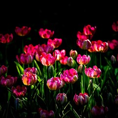 Pink Tulips Dark Background Magic Photo Cubes by FunnyCow