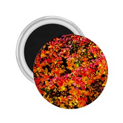 Orange, Yellow Cotoneaster Leaves In Autumn 2 25  Magnets by FunnyCow