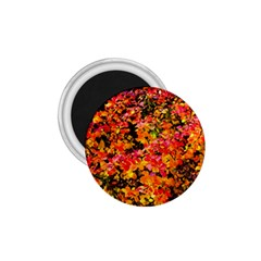 Orange, Yellow Cotoneaster Leaves In Autumn 1 75  Magnets by FunnyCow