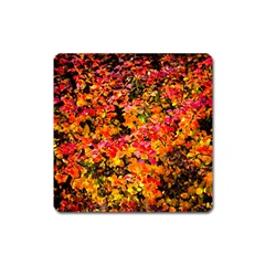 Orange, Yellow Cotoneaster Leaves In Autumn Square Magnet by FunnyCow