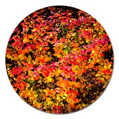 Orange, Yellow Cotoneaster Leaves In Autumn Magnet 5  (round) by FunnyCow