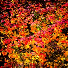 Orange, Yellow Cotoneaster Leaves In Autumn Magic Photo Cubes by FunnyCow