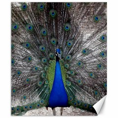 Peacock Bird Animals Pen Plumage Canvas 8  X 10