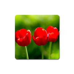 Three Red Tulips, Green Background Square Magnet