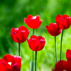 Red Tulip Flowers, Sunny Day Magic Photo Cube