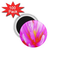 Fiery Hot Pink And Yellow Cactus Dahlia Flower 1 75  Magnets (100 Pack)  by myrubiogarden