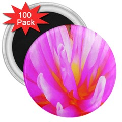 Fiery Hot Pink And Yellow Cactus Dahlia Flower 3  Magnets (100 Pack) by myrubiogarden