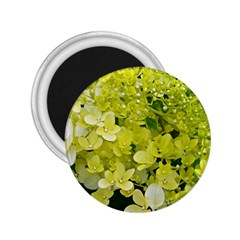Elegant Chartreuse Green Limelight Hydrangea Macro 2 25  Magnets
