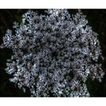 Queen Annes Lace in White Deluxe Canvas 14  x 11  (Stretched) 14  x 11  x 1.5  Stretched Canvas