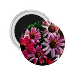Pink Asters 2 25  Magnets