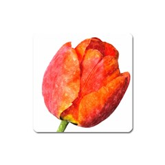 Spring Tulip Red Watercolor Aquarel Square Magnet by picsaspassion